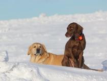 49.Labradorský retriever a německý ohař krátkosrstý