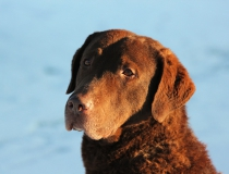 87.Chesapeake bay retriever