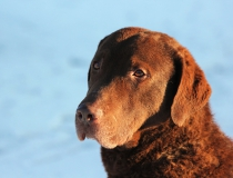 88.Chesapeake bay retriever