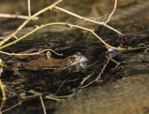 10.Ve skokanově království (Rana temporaria)