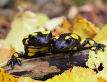 12.Milenecký pár I. (Salamandra salamandra)