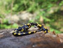 28.Milenci - mlok skvrnitý (Salamandra salamandra)