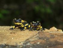 29.Sourozenci-Mlok skvrnitý (Salamandra salamandra)