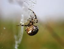 33.Křižák obecný (Araneus diadematus)