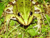 36.Skokan zelený (Pelophylax esculentus)