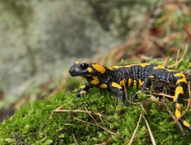 43.Mlok skvrnitý (Salamandra salamandra)