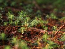 Nová generace - Smrk ztepilý (Picea abies)