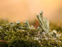 Dutohlávka třásnitá (Cladonia fimbriata)