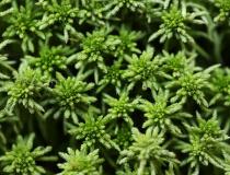Rašeliník člunkolistý (Sphagnum palustre)