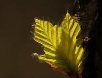 Mladé listy buku lesního (Fagus sylvatica)