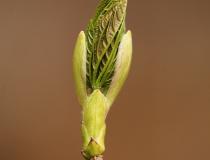 Pupen javoru klenu (Acer pseudoplatanus)