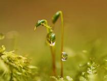 Měřík čeřitý (Plagiomnium undulatum)
