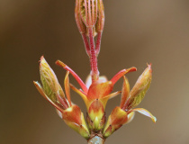 Nerozevřené lístky javoru mléče (Acer platanoides)