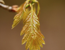 Mladé listy dubu zimního