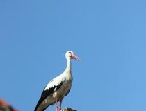 131.Čáp bílý (Ciconia ciconia)