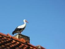 132.Čáp bílý (Ciconia ciconia)
