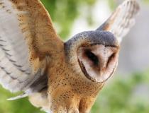 136.Sova pálená (Tyto alba)
