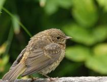 139.Mladá červenka obecná (Erithacus rubecula)