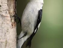 140.Samec lejska bělokrkého (Ficedula albicollis)
