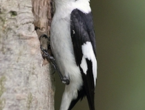 141.Samec lejska bělokrkého (Ficedula albicollis)