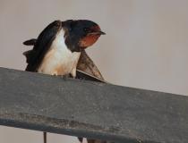 16.Vlaštovka obecná (Hirundo rustica)