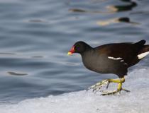166.Slípka zelenonohá - dospělý pták (Gallinula chloropus)