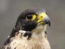 172.Sokol stěhovavý (Falcon peregrinus)