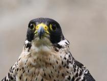 173.Sokol stěhovavý (Falcon peregrinus)