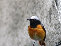 180.Rehek zahradní - samec (Phoenicurus phoenicurus)