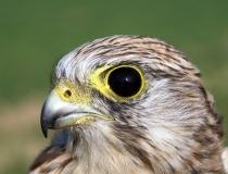 186.Detail na hlavu poštolky obecné - samice (Falco tinnunculus)