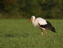Čáp bílý (Ciconia ciconia)
