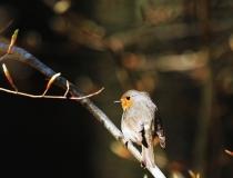 41.Červenka obecná (Erithacus rubecula)