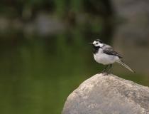 77.Konipas bílý (Motacilla alba)