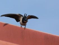 78.Vlaštovka obecná (Hirundo rustica)
