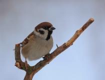 92.Vrabec polní - samec (Passer montanus)