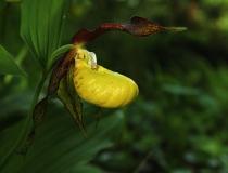 10.Střevičník pantoflíček (Cypripedium calceolus)