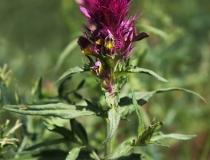100.Černýš rolní (Melampyrum arvense)