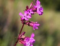 105.Smolnička obecná (Lychnis viscaria L.)