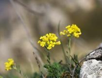 114.Tařice skalní (Aurinia saxatilis)