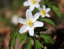 119.Sasanka hajní (Anemone nemorosa)