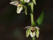 12.Kruštík širolistý (Epipactis helleborine)