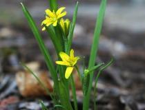 122.Křivatec žlutý (Gagea lutea)