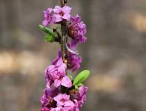 123.Lýkovec jedovatý (Daphne mezereum L.)