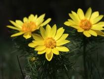 128.Hlaváček jarní (Adonis vernalis)