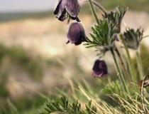 130.Koniklec luční český (Pulsatilla pratensis subsp. bohemica)
