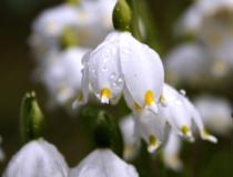 131.Bledule jarní (Leucojum vernum)
