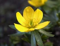 136.Talovín zimní (Eranthis hyemalis)