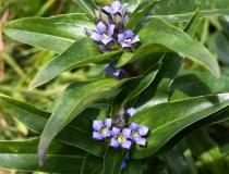 137.Hořec křížatý (Gentiana cruciata)