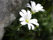 140.Rožec širokolistý (Cerastium latifolium)