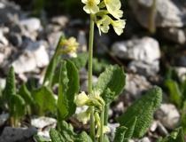 142.Prvosenka vyšší (Primula elatior)